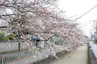 20080401sakura